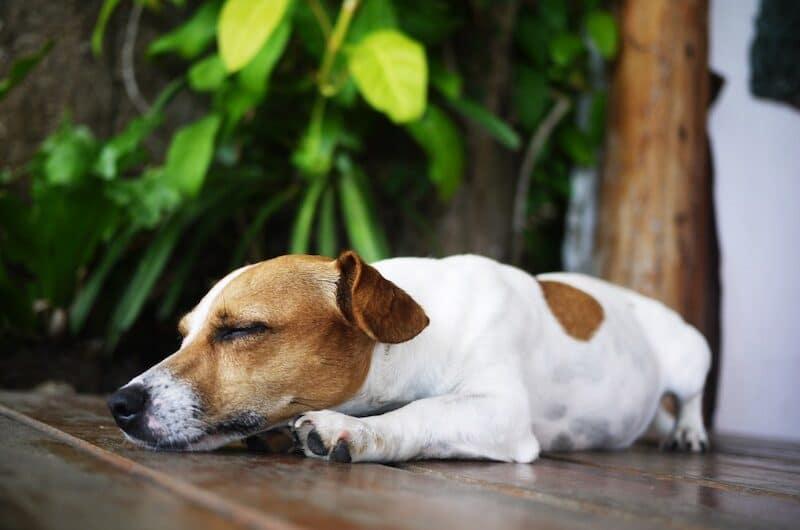 Combien de Temps dort un Chien : Ce que vous devez savoir !